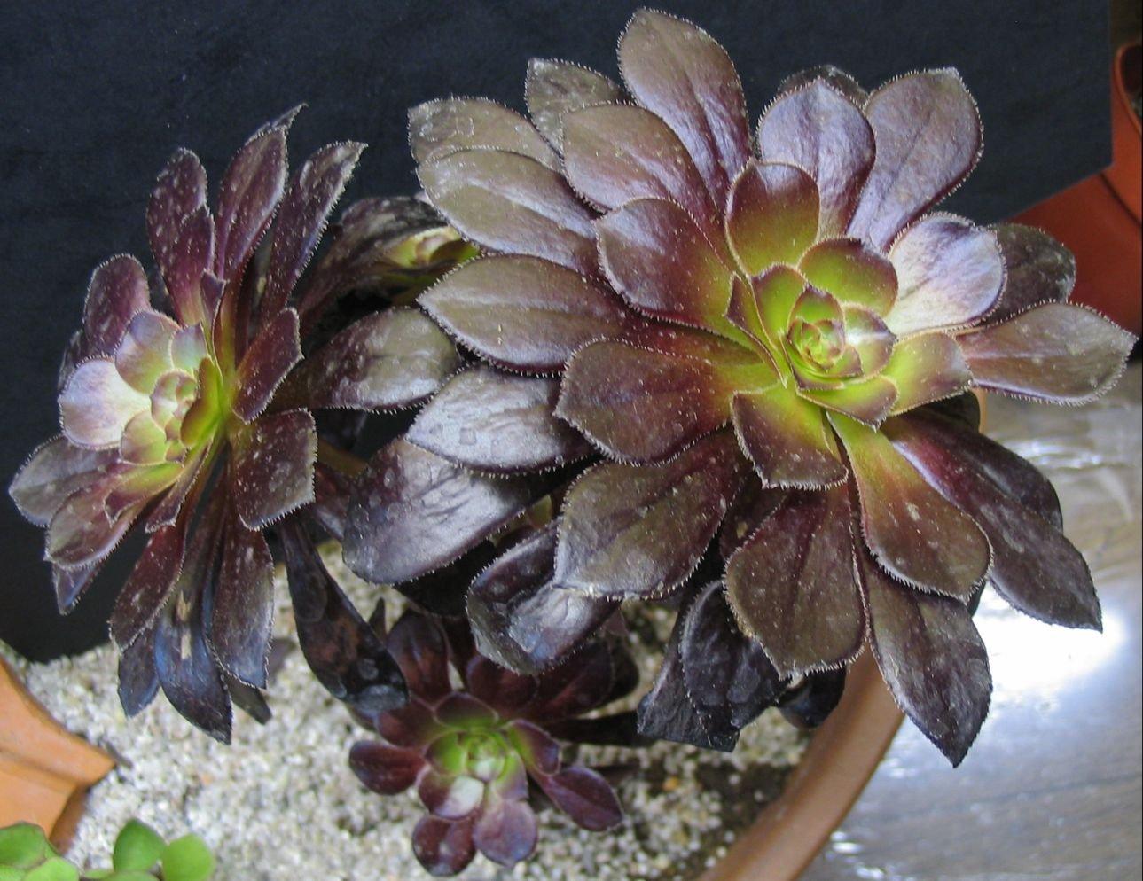 Mes plantes grasses et cactus succulentes for Jardinerie belgique en ligne