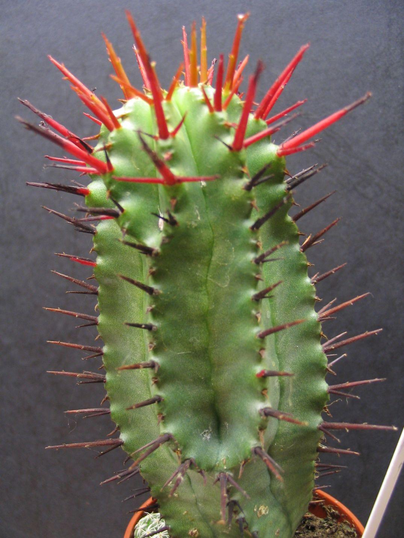 Euphorbia Enopla x Horrida