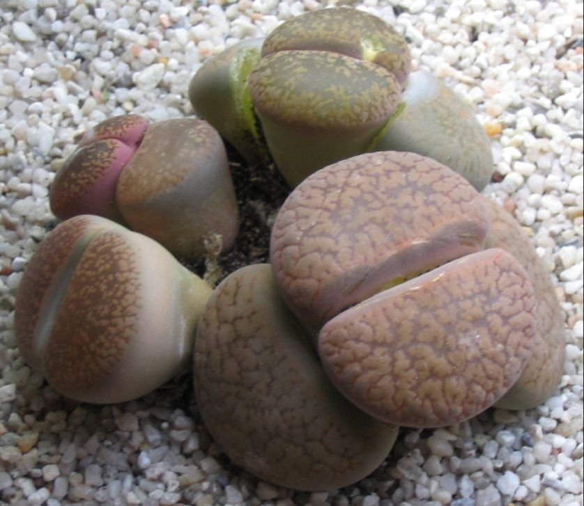 Lithops Non ID