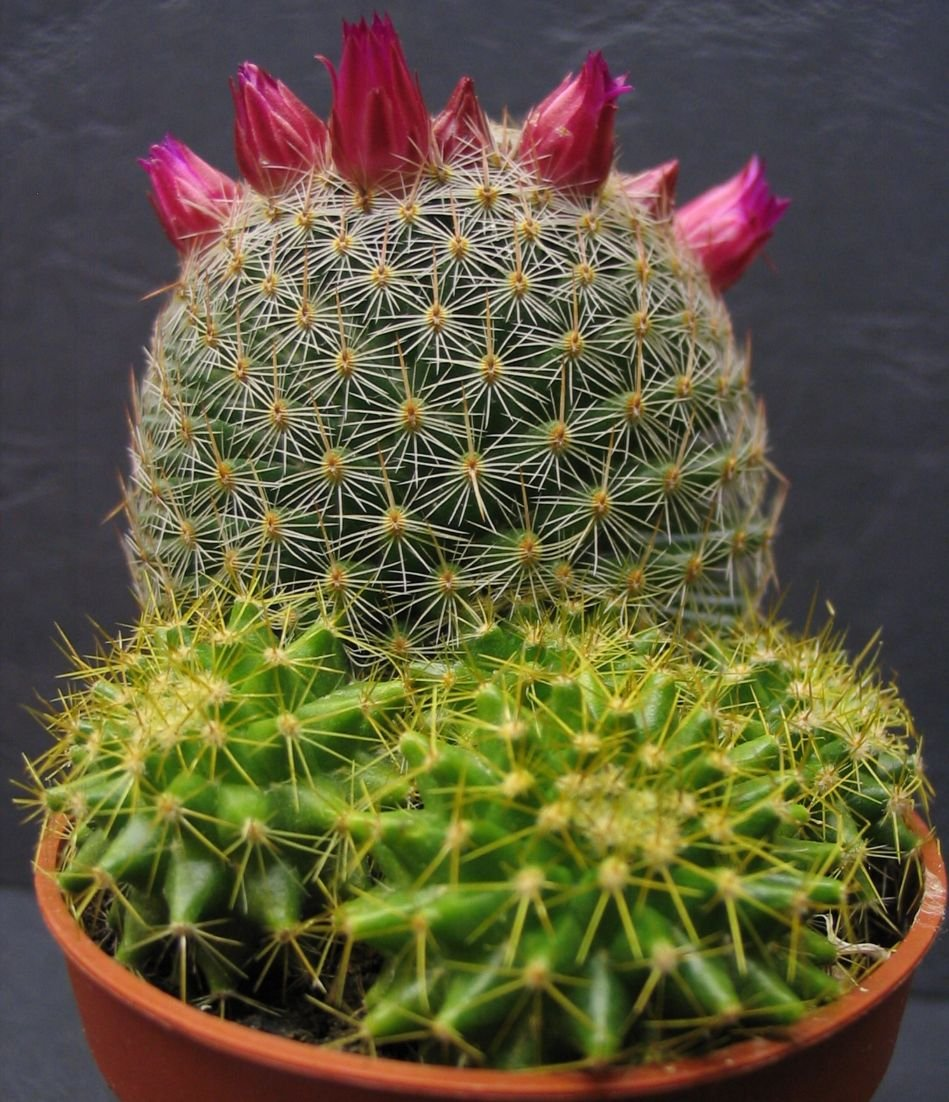 Mammillaria Matudae