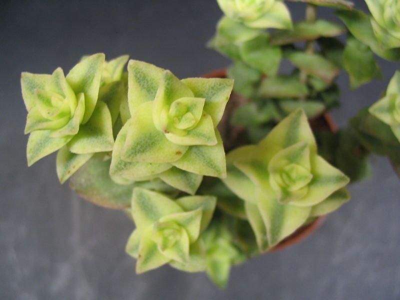 Mes plantes grasses et cactus crassula for Plante succulente d interieur
